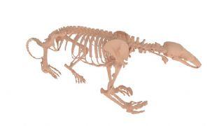 食蚁兽骨骼骨架maya模型