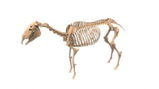 骡子骨骼模型