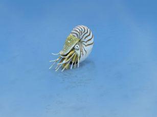 鹦鹉螺(学名:Nautiloidea)海洋软体动物max模型