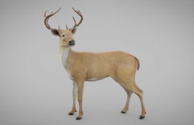 小鹿麋鹿梅花鹿,3ds,fbx,obj格式