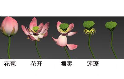 荷花盛�_�Y果�赢�MAX模型,花苞-盛�_-凋零-�蓬(全�^程�赢�)