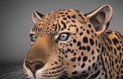 影��花豹maya模型,�Ы�定,有�N�D