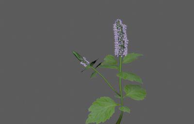 广藿香中草药植物FBX模型